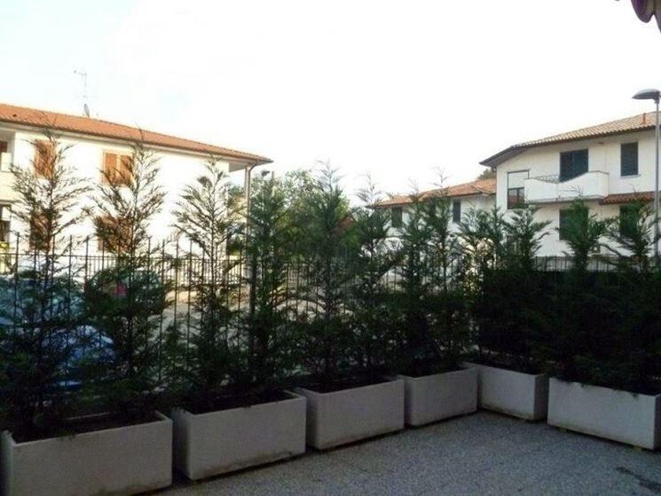 Siepi da terrazzo siepi come realizzare siepi da terrazzo for Piante sempreverdi da terrazzo