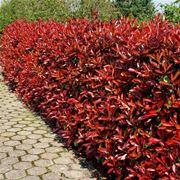 siepe rossa confine