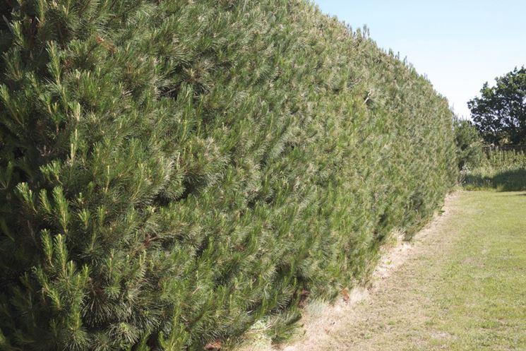Siepi frangivento siepi caratteristiche delle siepi for Siepe sempreverde