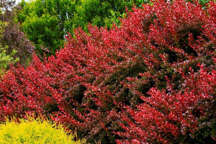 Siepe ornamentale colorata