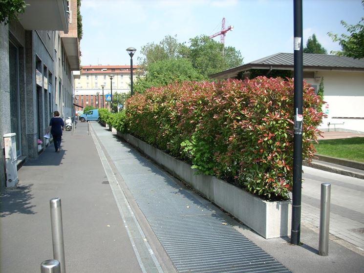 siepi per terrazzi - siepi - scegliere le siepi per il terrazzo - Piante Sempreverdi Da Vaso Balcone