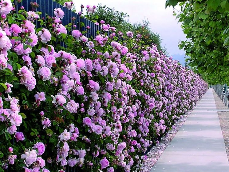 Siepe di rose