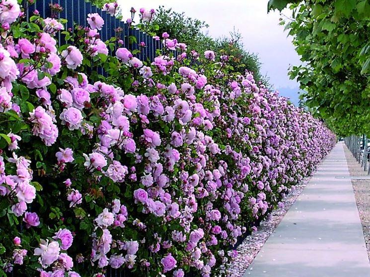 Siepi profumate siepi siepi con piante profumate - Siepi da giardino fiorite ...