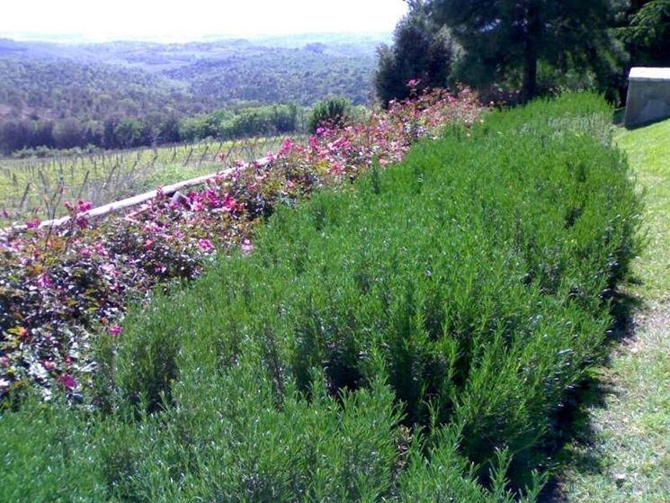 Siepi profumate siepi siepi con piante profumate for Siepi perenni fiorite