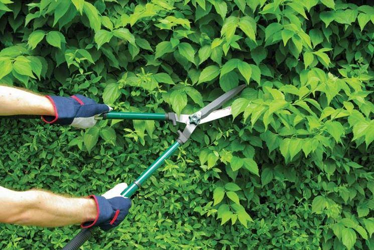taglio Siepe sempreverde