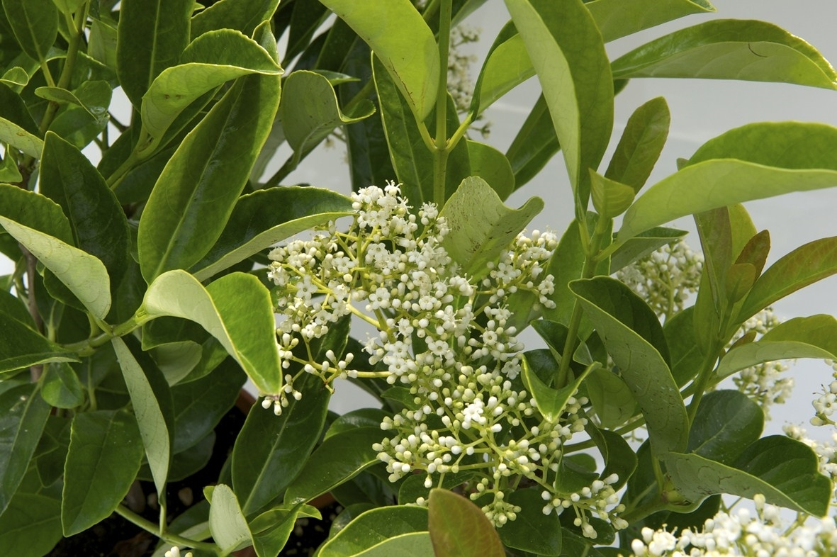 Piante Da Siepi Immagini viburno lucido siepe - siepi - caratteristiche del viburno