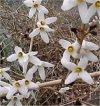 """Abeliophyllum"""""""