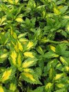 "Aucuba japonica"""