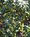 """Azara microphylla"""""""