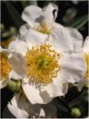 Carpenteria californica""