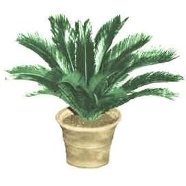 Palma nana cycas revoluta cycas revoluta piante da for Pianta dell appartamento da 300 piedi quadrati