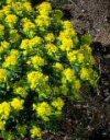 """Euphorbia amygdaloides robbiae"""""""