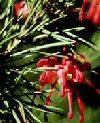 "Grevillea rosmarinifolia"""