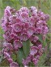 """Kalmia augustifolia"""""""