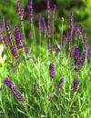 """Lavandula angustifolia"""""""