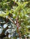 """Pistacia lentiscus"""""""