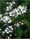 """Leptospermum scoparium"""""""