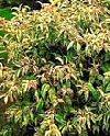 "Leucothoe fontanesiana"""