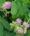 Mimosa pudica""