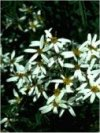 "Olearia nummulariifolia"""