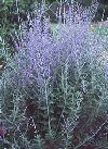"Perovskia atriplicifolia"""