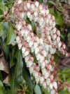 """Pieris japonica"""""""