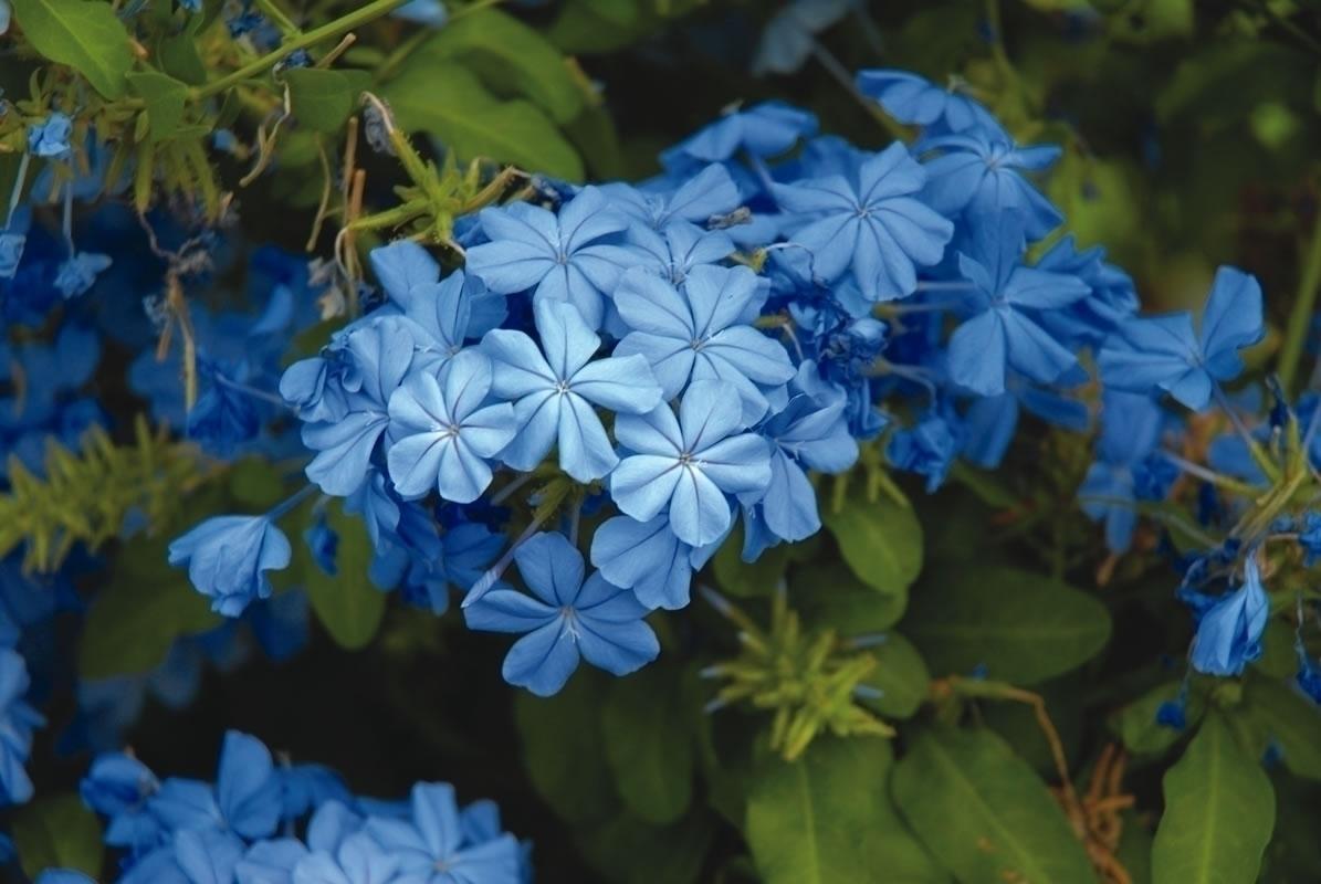Plumbago, il gelsomino azzurro