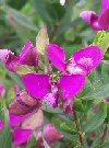 "Polygala myrtifolia"""