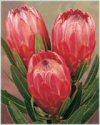"""Protea cynaroides"""""""