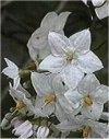 """Solanum jasminoides"""""""