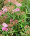 "Spiraea japonica"""