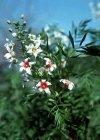 """Xanthoceras sorbifolium"""""""