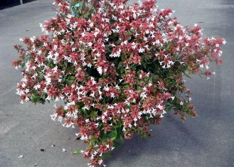 fiori abelia