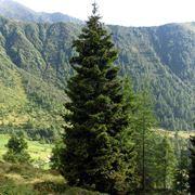 albero abies picea