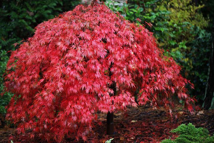 Acero giapponese acer buergerianum alberi acero di for Acero giapponese