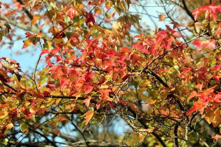 Acer buergerianum foglie