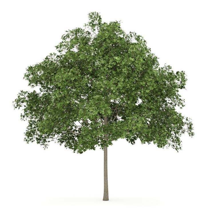 Acero giapponese acer buergerianum alberi acero di for Chioma albero