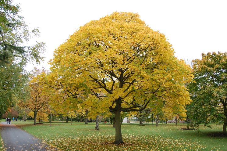 acero cappadocicum in autunno
