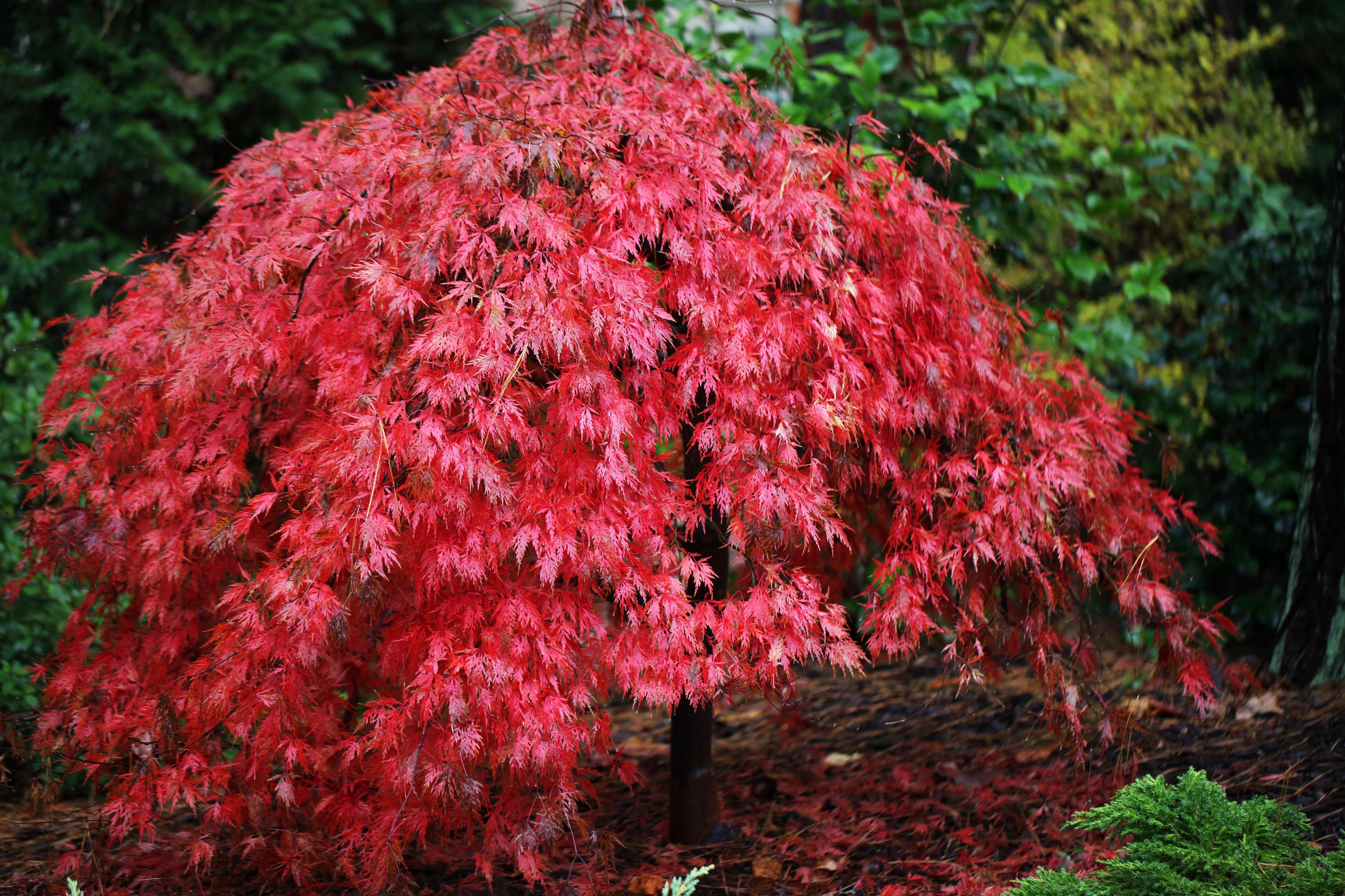 Acero rosso acer buergerianum piante da giardino for Acero rosso giapponese