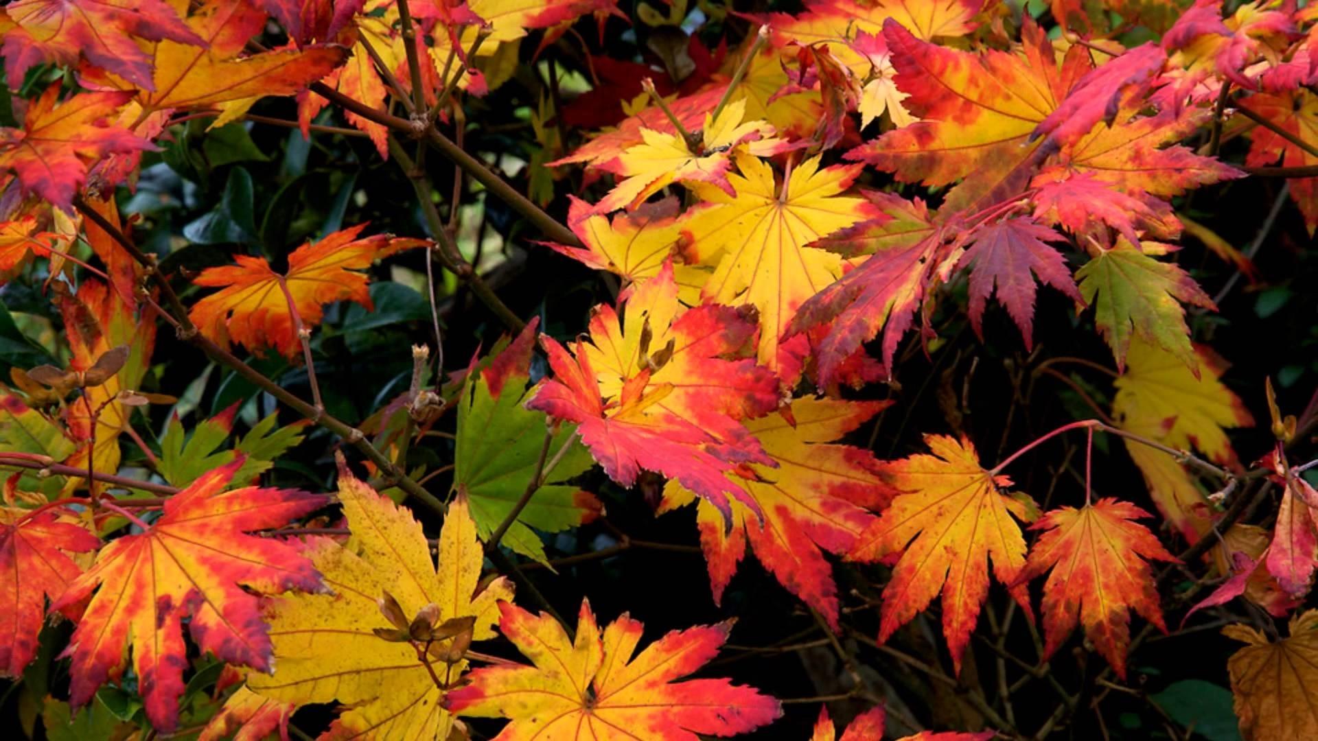 Perchè Acero Rosso Diventa Verde acero giapponese - acer buergerianum - alberi - acero di