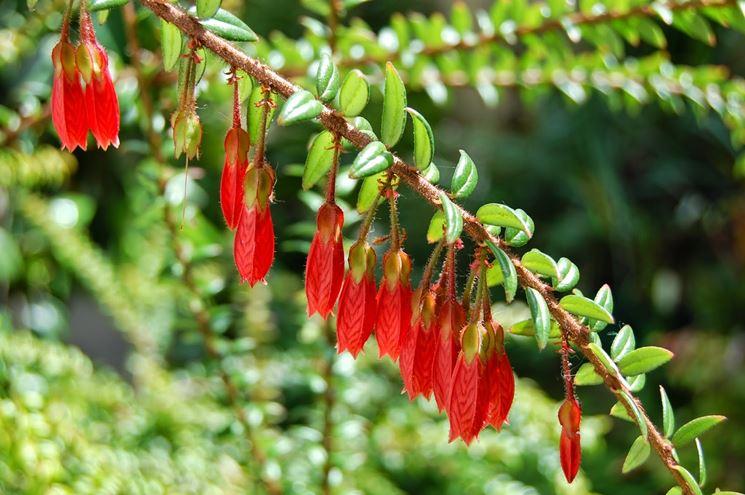 pianta di agapetes