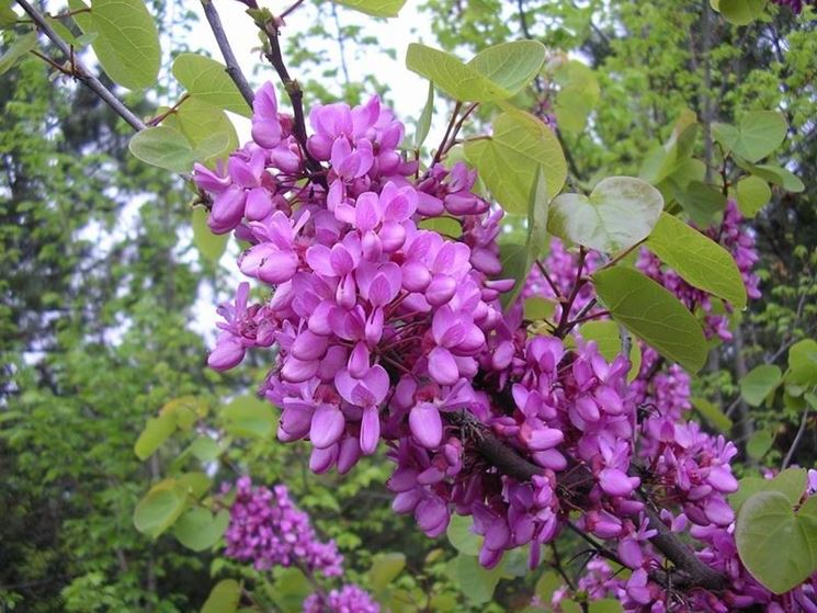 Albero di giuda cercis siliquastrum cercis - Alberi da giardino di piccole dimensioni ...