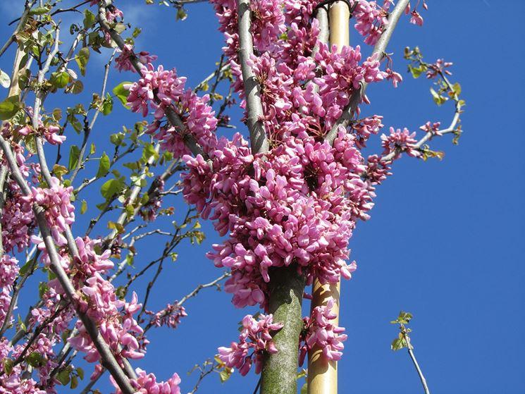 Cercis particolare ramo