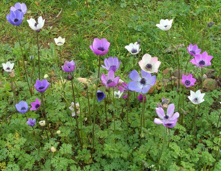 anemone coronaria alba plena