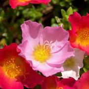 anemone fiore