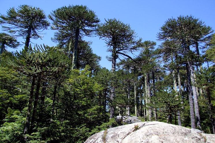 piante di Araucaria