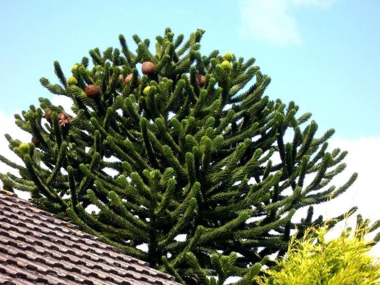 pino del paranà