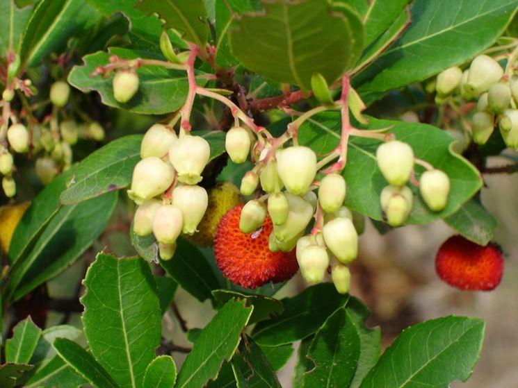 frutti e fiori corbezzolo
