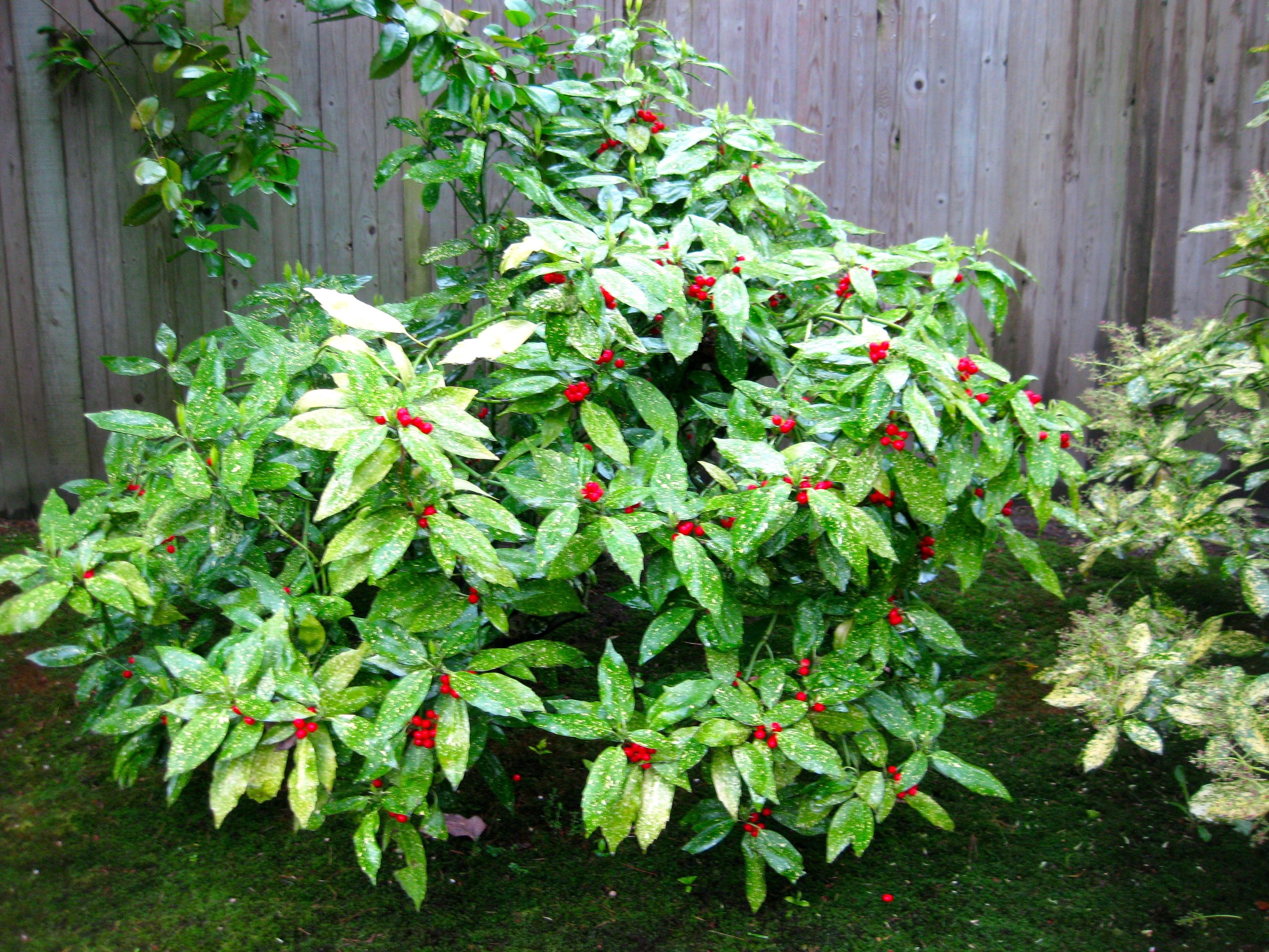 Aucuba japonica aucuba japonica piante da giardino aucuba japonica arbusti - Arbusti da giardino ...