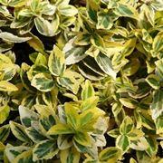 piante sempreverdi da esterno